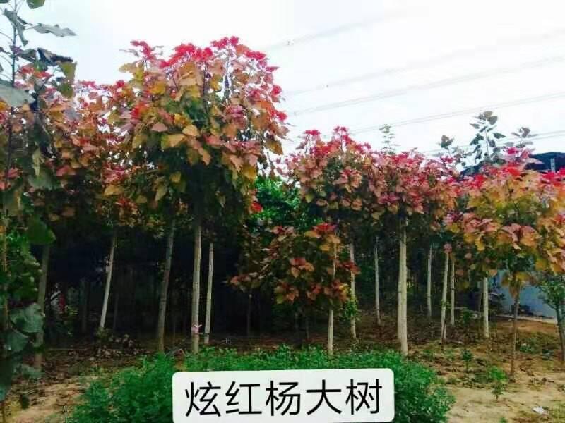 弦红杨大树