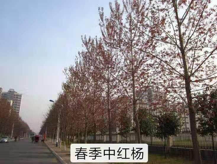 中华红叶杨